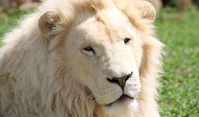 White Lion at Panthera Africa Lion Sanctuary Stanford